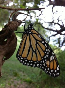 Monarch Butterfly resting during it's trip North. Photo taken by Rehanon Pampell in Temple, TX.